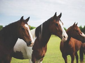Horses are herd animals