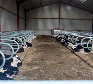 Calf cubicles with calves in