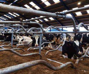 Cow Stall Mattress installation