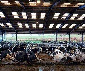 Cow stall mattress