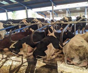 Hybrid Flex Cubicles with cows in