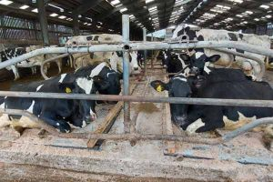 Mayo Mattress system with cows in